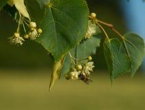 Biene auf Linde Stockfotos