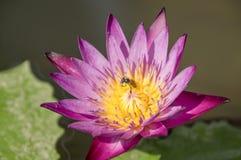 Biene auf Lotos Stockbilder