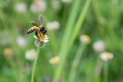 Biene auf Lotos diese Seerose im Garten Lizenzfreies Stockbild