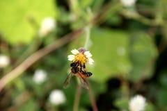 Biene auf mexikanischem Gänseblümchen Stockfotos