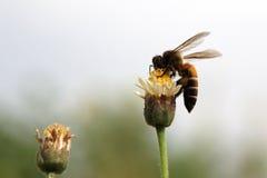 Biene auf mexikanischem Gänseblümchen Stockbilder