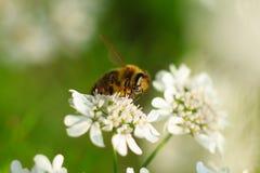 Biene auf Nahaufnahme der weißen Blume Lizenzfreie Stockbilder