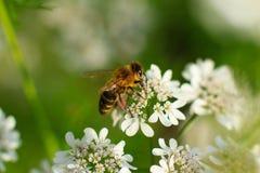 Biene auf Nahaufnahme der weißen Blume Stockfotos