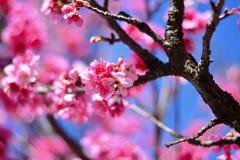 Biene auf Okinawa Cherry Blossom Lizenzfreie Stockfotos