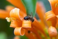 Biene auf orange Blumenblumenblatt Stockbilder