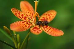 Biene auf Orchidee lizenzfreie stockbilder