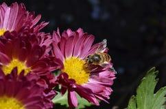 Biene auf purpurroter Blume lizenzfreie stockfotos