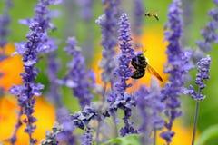 Biene auf purpurroter Blume Stockbild