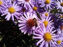 Biene auf purpurroter Blume Lizenzfreie Stockfotografie