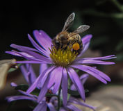 Biene auf purpurroter Blume Stockfotos