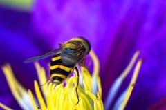 Biene auf purpurroter Blume Flache Schärfentiefe Stockbild