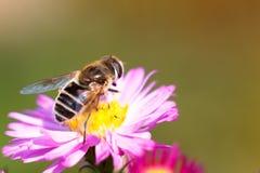 Biene auf purpurroter Blume Flache Schärfentiefe Stockfotografie