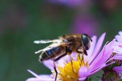 Biene auf purpurroter Blume Flache Schärfentiefe Lizenzfreie Stockfotografie