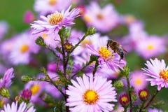 Biene auf purpurroter Blume Flache Schärfentiefe Stockbilder