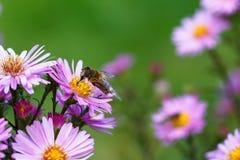 Biene auf purpurroter Blume Flache Schärfentiefe Stockfoto