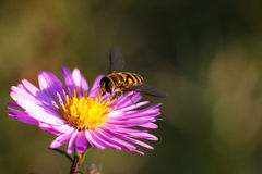 Biene auf purpurroter Blume Flache Schärfentiefe Lizenzfreie Stockfotos