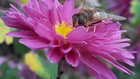 Biene auf purpurroter Blumennahaufnahme Die Biene bestäubt ein rosa Blumenmakro stock video footage