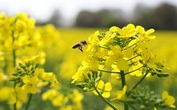 Biene auf Raps Stockfotos