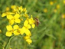 Biene auf Rapssamen Lizenzfreie Stockbilder