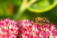 Biene auf rosa Blume Flache Schärfentiefe Lizenzfreie Stockfotos