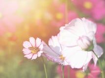 Biene auf rosa Kosmosblume Stockfotos