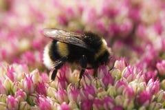 Biene auf rosafarbenem Sedum Stockfotos