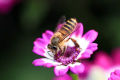 Biene auf rosafarbener Blume Stockfotografie