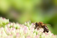 Biene auf rosafarbener und weißer Blume Stockfotografie