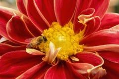 Biene auf roter Chrysantheme mit dem Blütenstaub Lizenzfreie Stockfotos