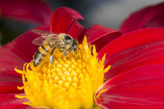 Biene auf roter Dahlienblume Stockbild