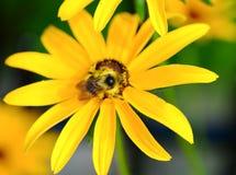 Biene auf Rudbeckia Stockfotografie