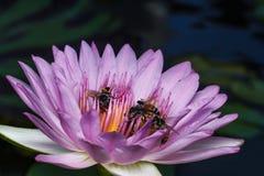Biene auf schönem Lotos Lizenzfreies Stockfoto