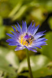 Biene auf schöner Lotosblume Lizenzfreie Stockbilder