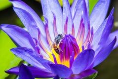 Biene auf Seerose Stockfotos
