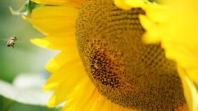 Biene auf Sonnenblume stock video footage