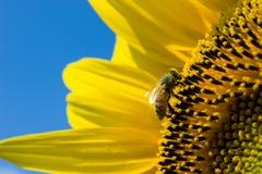 Biene auf Sonnenblume Lizenzfreie Stockfotografie