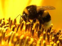 Biene auf Sonnenblume Stockbilder