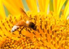 Biene auf Sonnenblume Stockbild