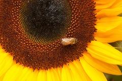 Biene auf Sonnenblume Stockfoto