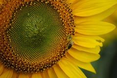 Biene auf Sonnenblume Lizenzfreies Stockbild