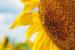 Biene auf Sonnenblume Stockfotos