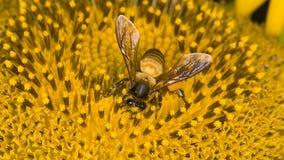 Biene auf Sonnenblume Stockfotografie
