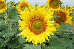 Biene auf Sonnenblume Lizenzfreies Stockfoto