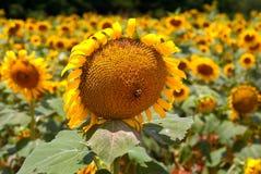 Biene auf Sonnenblume auf dem Gebiet der Sonnenblumen Lizenzfreies Stockbild