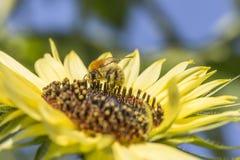 Biene auf Sonnenblume Biene bedeckt mit dem Blütenstaub, der auf Sonnenblume, Makroschuß einzieht Stockfoto
