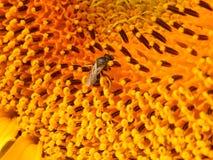 Biene auf Sonnenblume in meinem Garten Lizenzfreie Stockbilder