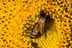 Biene auf Sonnenblumeblütenstaub Lizenzfreie Stockbilder