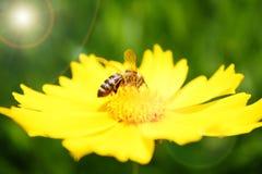 Biene auf sonniger gelber Blume stockfotografie