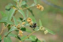Biene auf Unkräutern Lizenzfreie Stockbilder