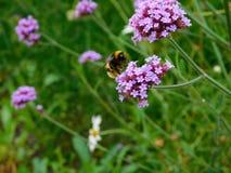 Biene auf Verbene stockfotografie